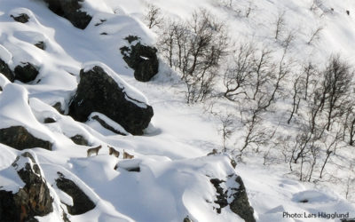 Lodjursspaning i Laponia
