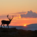 Seeing reindeer during Sarek hike