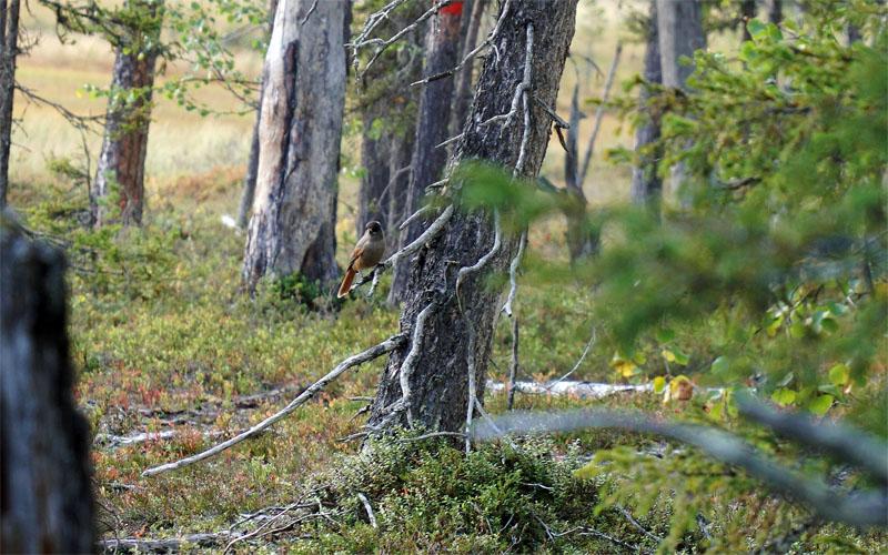 Siberian Jay in Muddus