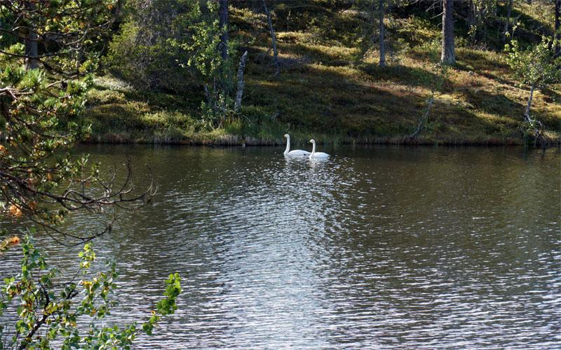 Swans in Muddus